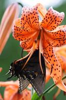 Orange Lilly/Black Swallowtail