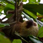 """Two-toed Sloth"" by gc-photography"