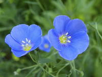 Blue Flax Wildflower