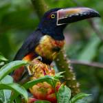 """Aracari"" by gc-photography"
