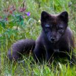 """""""Arctic Fox"""" by gc-photography"""