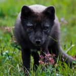 """""""Arctic Fox in Iceland"""" by gc-photography"""