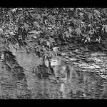 """Leaves On the Creek 3 BW lg brdr enhncd more"" by TheNorthernTerritory"