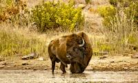 Buffalo At Creekside
