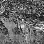 """Leaves On the Creek 3 B&W enhanced 2"" by TheNorthernTerritory"