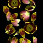"""Tulip Edges"" by LindaCavaney"