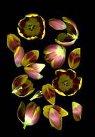 Tulip Edges