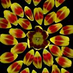 """Tulip Sunburst"" by LindaCavaney"