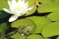 Frog and Water Lily