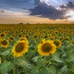 """Texas Wildflower Images - Sunflower Field 2"" by RobGreebonPhotography"