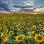"""Texas Wildflower Images - Sunflower Field 1"" by RobGreebonPhotography"