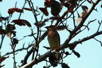 Cedar Waxwing on Apple Tree
