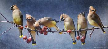 a row of cedar waxwings
