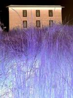 house with purple grass