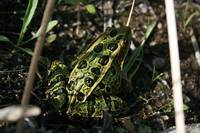 Green Frog in Reeds