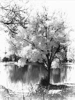 tree and lake bw graphic2