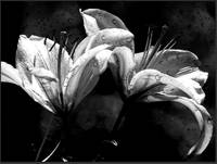 twin lilies bw wet