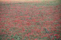 Field of red poppy flowers southern Italy Bari