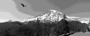 American Bald Eagle Over Mt. Rainier B&W