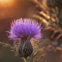 Sunset and Thistle by Jim Crotty