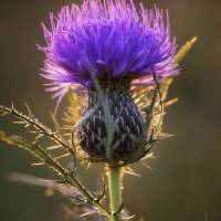 Backlit Bull Thistle by Jim Crotty by Jim Crotty
