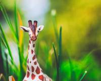 Giraffe in the Grass