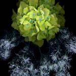 """""""Hydrangea Dreamcatcher"""" by LindaCavaney"""