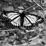 """Black & White Monarch Butterfly"" by LJdesigns"