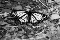 Black & White Monarch Butterfly