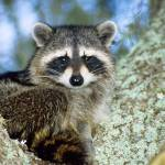 """Raccoon Animal Portrait"" by kphotos"