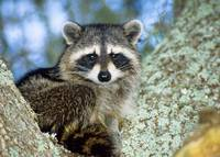Raccoon Animal Portrait