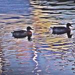 """Two Ducks"" by bavosiphotoart"