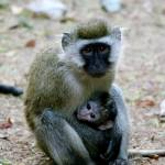 """Monkey Mom and Baby"" by adamselkowitz"