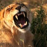 """""""The Lion Roars"""" by adamselkowitz"""