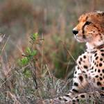 """Cheetah Waiting"" by adamselkowitz"