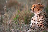 Cheetah Waiting