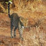 """Leopard Walking"" by adamselkowitz"