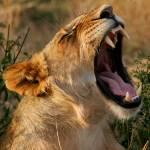 """The Lion Yawns"" by adamselkowitz"