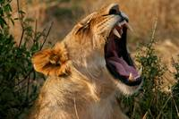 The Lion Yawns