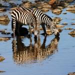 """""""Twin Zebras"""" by adamselkowitz"""