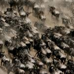 """Wildebeest Migration"" by adamselkowitz"