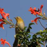 """Cape White- Eye 8083"" by rayjacque"