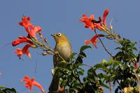Cape White- Eye 8083