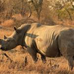 """White Rhino 7090"" by rayjacque"