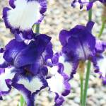 """Irises Purple White Iris Flowers Art Prints"" by BasleeTroutman"