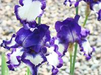 Irises Purple White Iris Flowers Art Prints