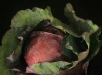 Red Cabbage with Green Leaves