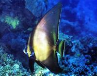 Young Batfish With Cleaner
