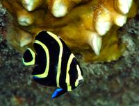 Juvenile Angelfish