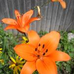 """Orange Lillies"" by Mistilyn"